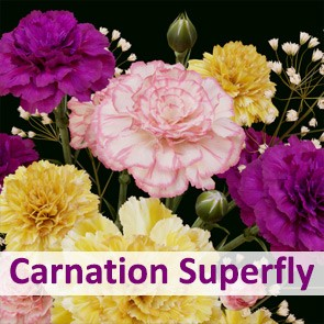 Carnation Superfly Addon