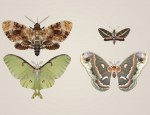 Nature's Wonder Giant Moths