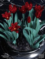 Dark Embrace for Lisa's Botanicals Tulips