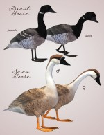 SBRM Waterfowl Vol 5 - Geese